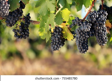 Multiple bunches of Shiraz wine grapes on summer vine