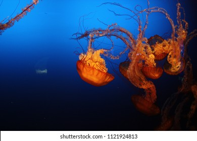 Multiple colorful jellyfish underwater blue background