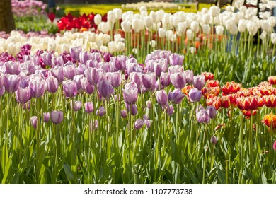 Multiple colors tulips in a field in the Keukenhof the Netherlands