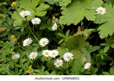 Multiple Common daisy or Bellis perennis or English daisy or Meadow daisy or Lawn daisy herbaceous perennial plants with pure white petals and yellow center surrounded with green leaves and other plan