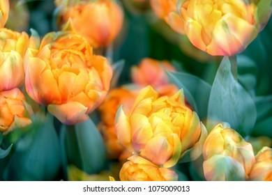 Multiple exposures of orange tulips creating dreamy effect.