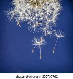 Multiple falling seeds of bright dandelion flower