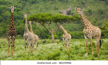 Multiple giraffe around an Acacia tree by the mountains in South Africa