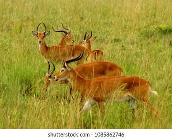 Multiple Kob Antelope grazing in the Ugandan countryside.