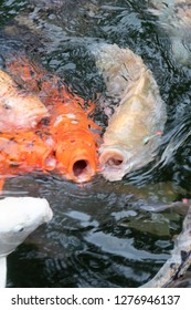 Multiple Koi Fish with Open Mouths Gather Together to Fight Over Food