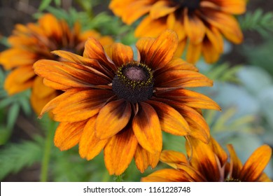 Multiple orangeflowers - Rudbeckia hirta, commonly called black-eyed Susan in a meadow