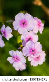 Multiple pink flowers with green leaf background