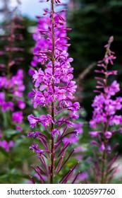 Multiple Purple Fireweeds