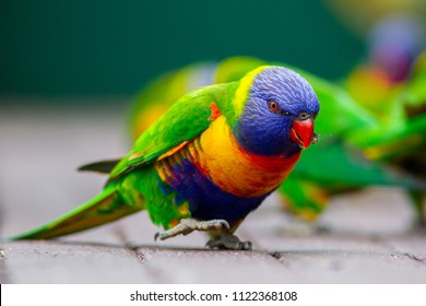 Multiple Rainbow Lorikeets eating seed in Lithgow New South Wales on June 17th 2018