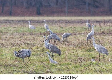 Multiple sandhill cranes, gather in a field of grass in search of food.