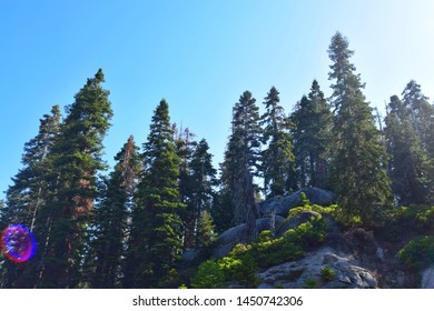 Multiple Sequoia trees on a mountain in Sequoia National Park with a blue sky in the background