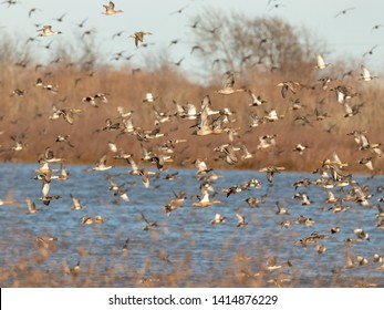 Multiple species of waterfowl flying over a lake.