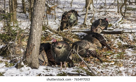 Multiple turkeys in the woods