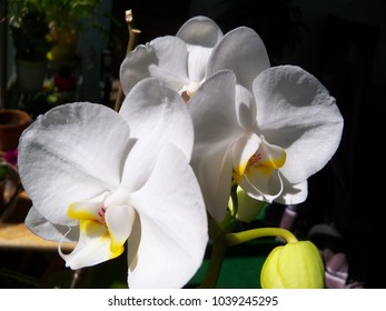 Multiple white orchid blooms in a sunny window