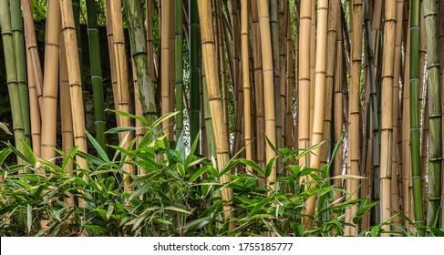 Multiplexing bambusa, Hedge Bambus. Alphonse Karr Yellow Clumping Hedge Bambus - Bambusa Multiplex