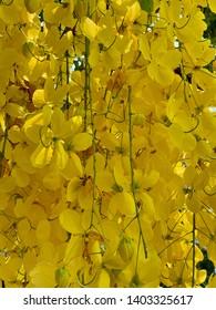 Multiply or Ratchaphruek flowers, Cassia fistula L. or golden shower tree, Chaiyaphruek is the de facto national flower of Thailand Thai people called Dok Koon or Khun