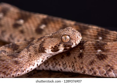 Multiscale saw-scaled viper (Echis carinatus multisquamatus)