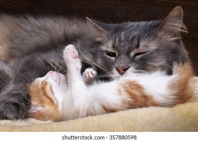 Mum cat and kitten. Mother cat hugging a small kitten. The cat is gray, fluffy. The kitten is small, white and red. Family of cats. Kitty wants to play with the cat mom