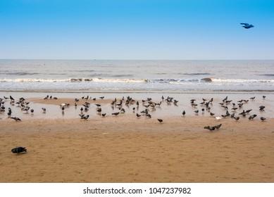 Mumbai / India 10  March 2018 A Group of pigeons are walking and eating foods on the Juhu Beach in morning at  Mumbai  Maharashtra