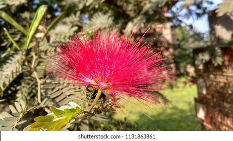 MUMBAI, INDIA - JAN 5, 2018: Calliandra haematocephala, commonly known as pink powerpuff flower blossoms in the garden in Govardhan Eco Village.