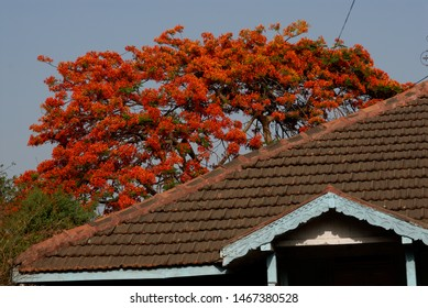 Mumbai, Maharashtra, India- Asia, May, 2009 : Old architecture mud roof house Orange Flowers Gulmohar trees