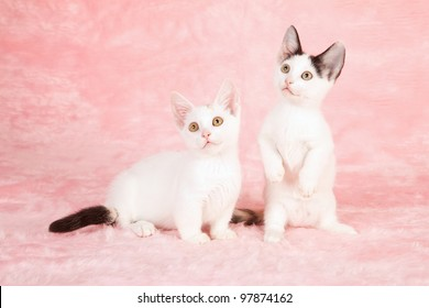 Munchkin kittens on pink fur background