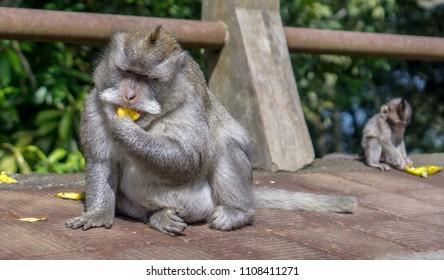 Munduk - Monkeys