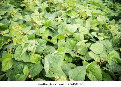 Mung bean crop, Salunkwadi, Ambajogai, Beed, Maharashtra, India