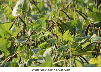 Mung bean crop, Thai