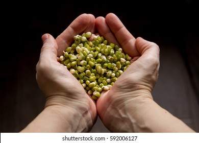 Mung beans in the hands