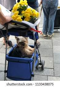 Munich, Germany, 06.08.2018. The cute small dog is in the truck with bouquet of yellow flowers on top.