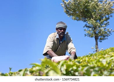 MUNNAR, INDIA - JANUARY 19, 2019: Tea picker working in tea plantation in Kerala state. Only uppermost leaves are collected and workers collect daily up to 30 kilos of leaves.