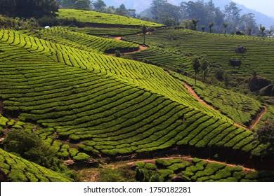 Munnar Tea Plantations in Kerala India