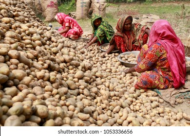Munshigonj, Bangladesh - March 24, 2018: Bangladeshi farmers collect potatoes after harvest them from a field in Munshigonj, near Dhaka, Bangladesh on March 24, 2018.