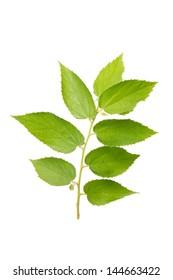 Muntingia calabura's leaf (jam tree) on white background