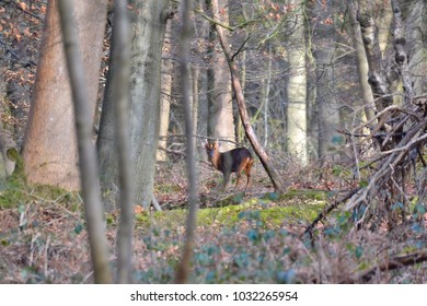 A muntjac also known as barking deer and mastreani deer in the woods in England