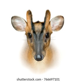 Muntjak deer face isolated on the white