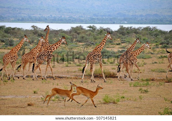 Murchison Falls National Park, Uganda, Africa - June 28, 2009: A large family of giraffes run with the gazelles on the open plains of Murchison Falls National Park.