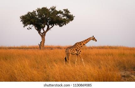 Murchison falls Rothschild's giraffe