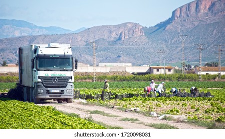 Murcia, Spain, May 2, 2020: Farmers suply during Coronavirus lock down. Farmers or farm workers picking up lettuces in agricultural plantation during coronavirus or covid 19 crisis.
