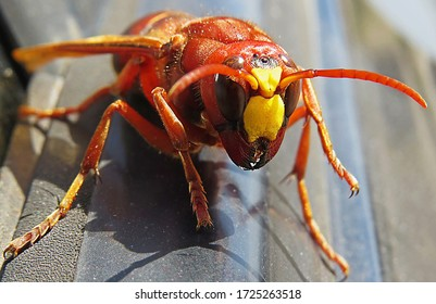 Murder hornet vespa mandarinia 				 				Giant wasp known as killer bee 				vespa mandarinia or Asian giant hornet