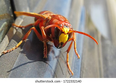 Murder hornets vespa mandarinia  Giant wasp known as killer bee vespa mandarinia or murder hornets