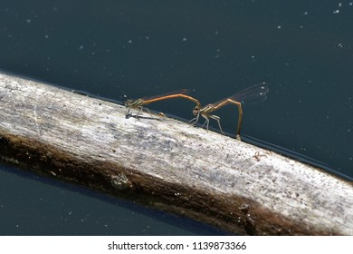 Murderous lover dragonfly make love in the lake