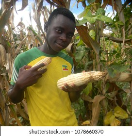Murehwa,,Zimbabwe,8 April 2018.  Young  rural  farmer  holding  cobs  of  corn whilst  harvesting  them  from his  field  near  his  village