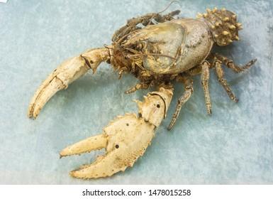 Murray River Crayfish (Euastacus armatus)
