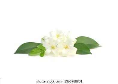 Murraya paniculata flower isolated on white