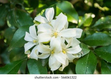 Grown as a small hedge images stock photos vectors shutterstock murraya paniculata is a tropical evergreen plant bearing small white scented flowers mightylinksfo