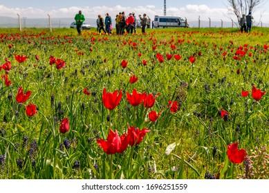 Mus City / Turkey. Mus Valley and Tulip Fields.