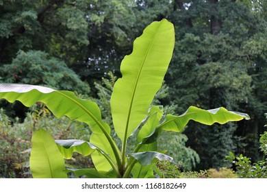 musa basjoo leafs