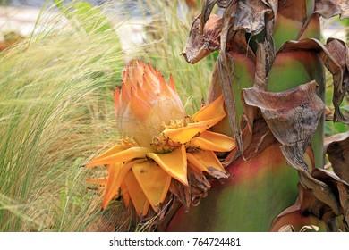 Musaceae plants hairyfruit musella flower